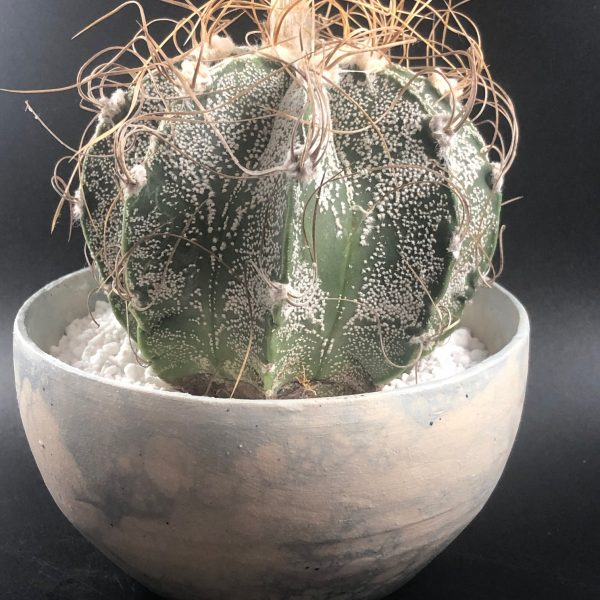 Astrophytum Capricorne (B)