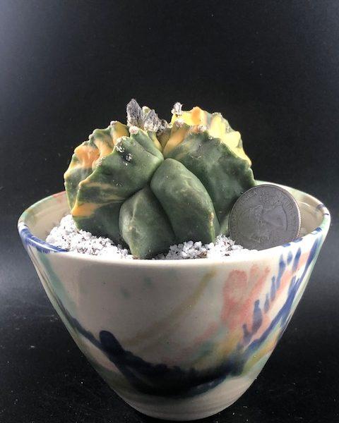 Astrophytum Myriostigma Variegated (with handmade pottery included)
