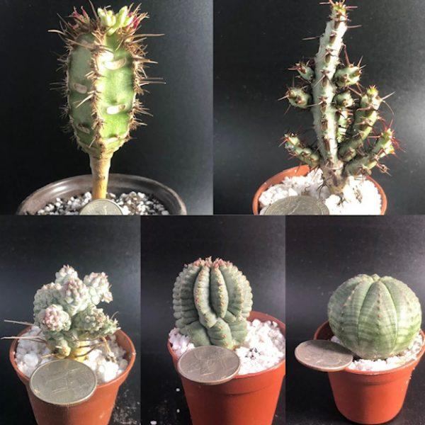Euphorbia Combo: Obesa, Infausta, Mammilaris Var, Aeruginosa, Neohumbertii
