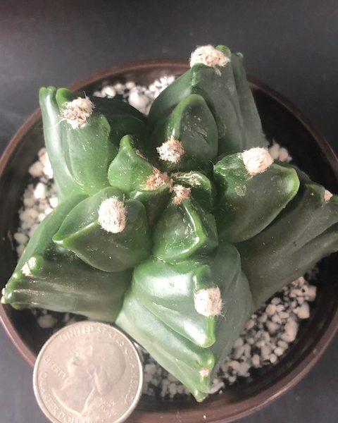 Astrophytum Myriostigma Kikko Nudum