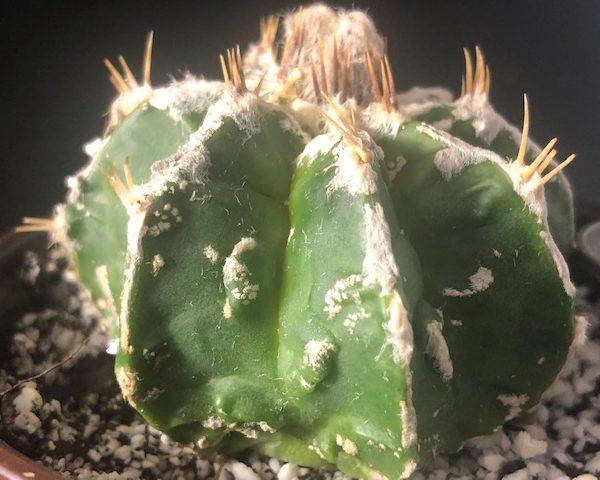 Astrophytum Capricorne Fukuryu (SM)