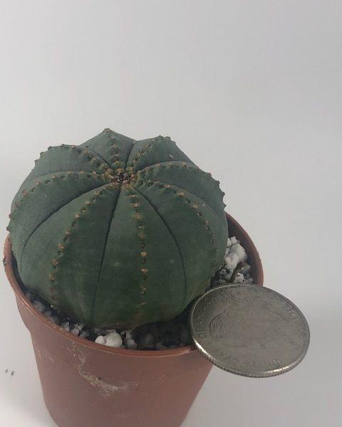 Euphorbia Obesa (small) A