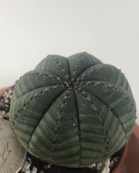 Euphorbia Obesa (small) B
