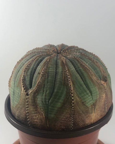 Euphorbia Obesa Female (Muffin)