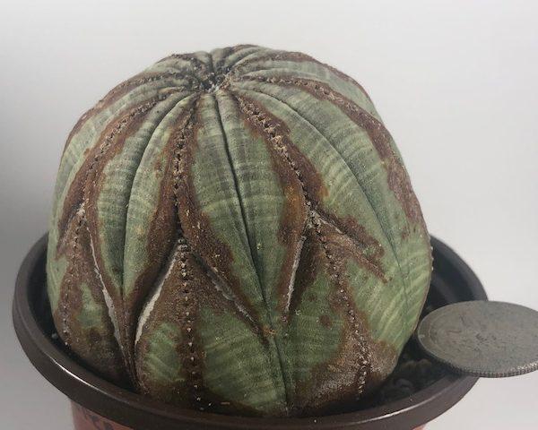 Euphorbia Obesa V-Shape Monster