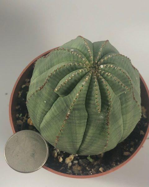 Euphorbia Obesa (Extra lip)