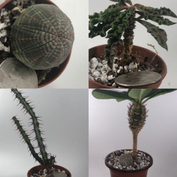 Euphorbia Sampler Set: Obesa, Decaryi, Aeruginosa, Neohumbertii
