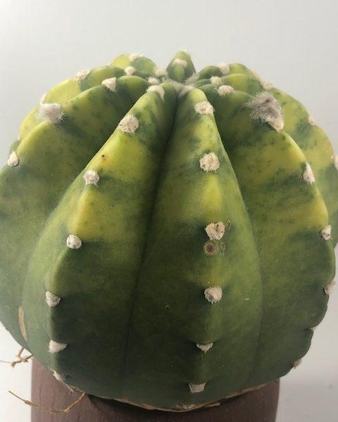 Echinopsis Variegated (Large/Softball size)