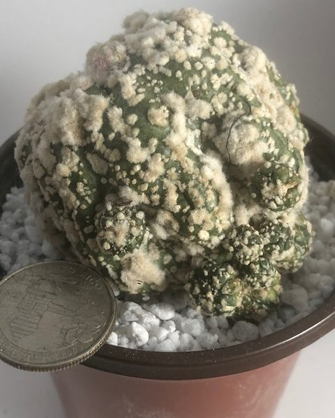 Astrophytum Hanazono kabuto