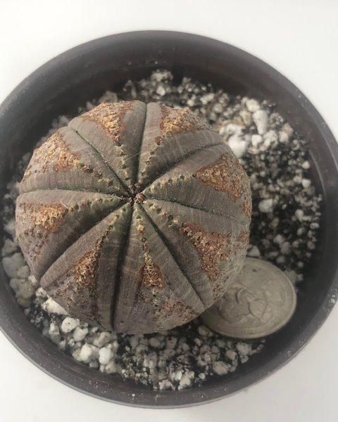 Euphorbia Obesa (Star D)
