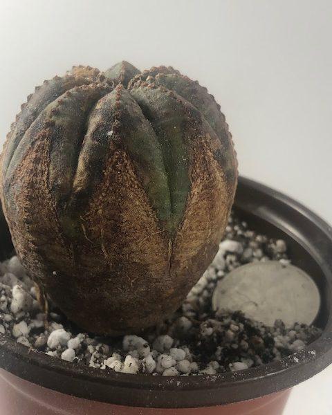 Euphorbia Obesa (Star G)