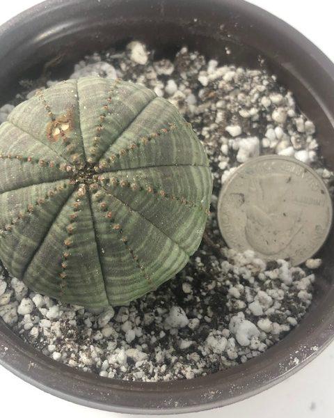 Euphorbia Obesa Male (B1)