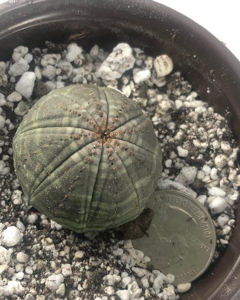 Euphorbia Obesa Male (B3)