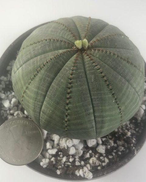 Euphorbia Obesa (pancake 1)