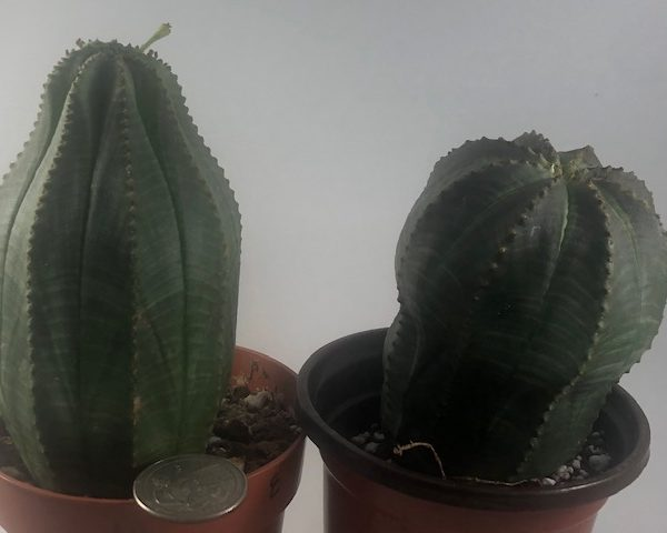 Euphorbia Obesa (Male - Female Couple) LARGE