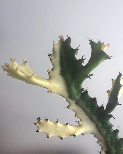 Euphorbia Lactea (White Ghost)