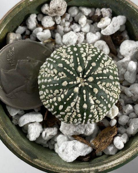 Astrophytum Asterias Superkabuto (K1)