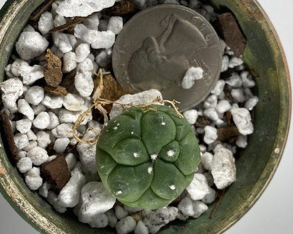 Astrophytum Asterias Kikko (3)