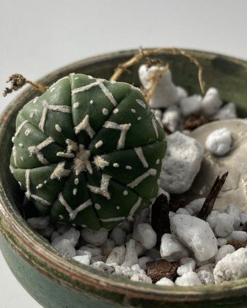 Astrophytum Asterias V-Shape