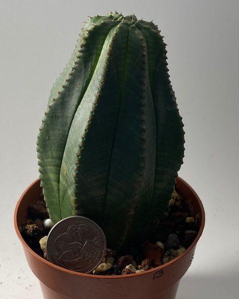 Euphorbia Obesa (Tall)