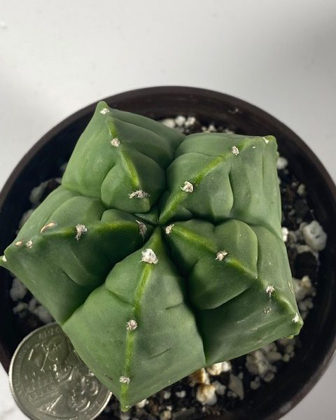 Astrophytum Myriostigma Kikko (#927)