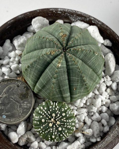 Euphorbia Obesa + Astrophytum Asterias Superkabuto Combo (D)