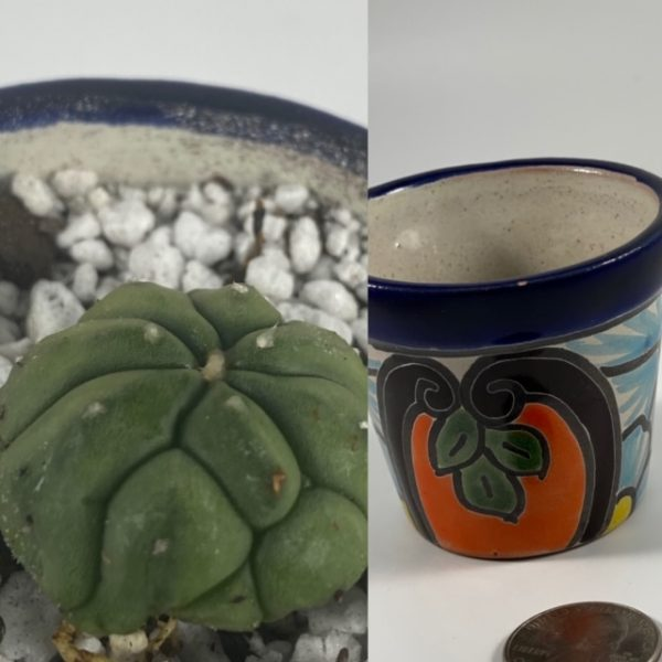 Astrophytum Asterias Kikko + Blue Petals Pottery (Mexico) Combo