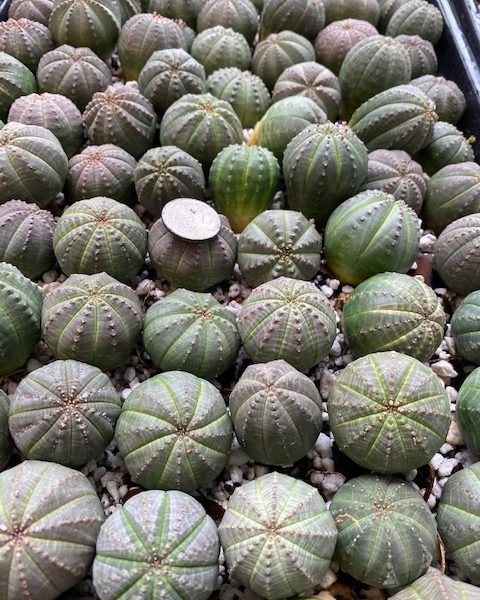 100 Euphorbia Obesas (3-month Subscription)