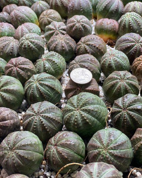 Euphorbia Obesa (BULK ORDER) (qty 25)