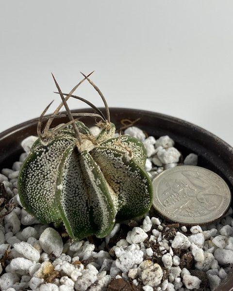 Astrophytum Capricorne (small)