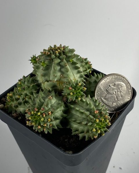 Euphorbia Susannae (A)