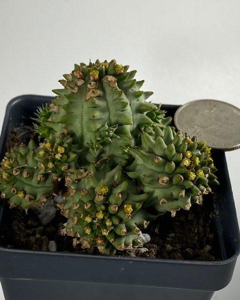 Euphorbia Susannae (B)