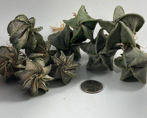 10-Plant Combo: 5 Astrophytum Capricornes + 5 Myriostigmas