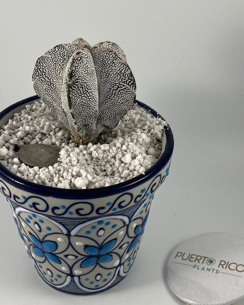 Astrophytum Onzuka in Blue Symmetry Handmade Pottery (Mexico) (B)