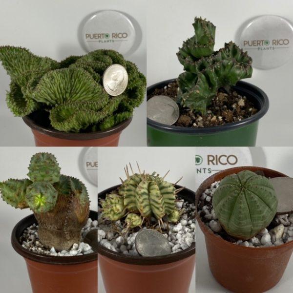 Euphorbia Starter Set: (5 plants)--Crested Horrida, Crested Lactea, Pseudoglobosa-Obesa Hybrid, Variegated Meloformis, Obesa