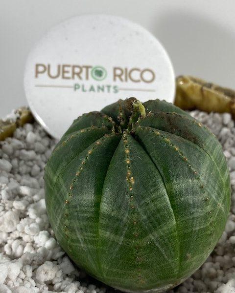 Female Euphorbia Obesa (D)