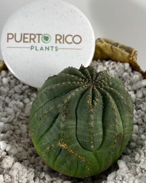 (Eddie Munster) Euphorbia Obesa (E)