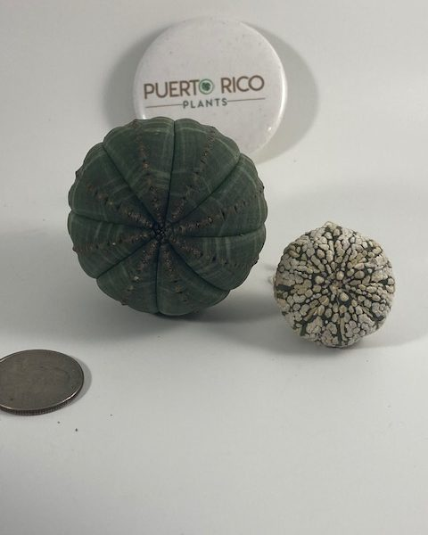 Euphorbia-Astrophytum Combo: Obesa + Superkabuto