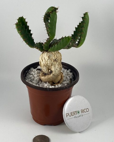 Euphorbia Stellata (A)