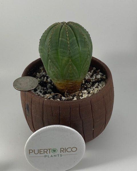 Euphorbia Obesa (C)