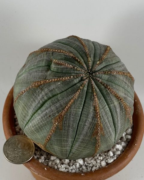 Thick Euphorbia Obesa (Nell Carter)