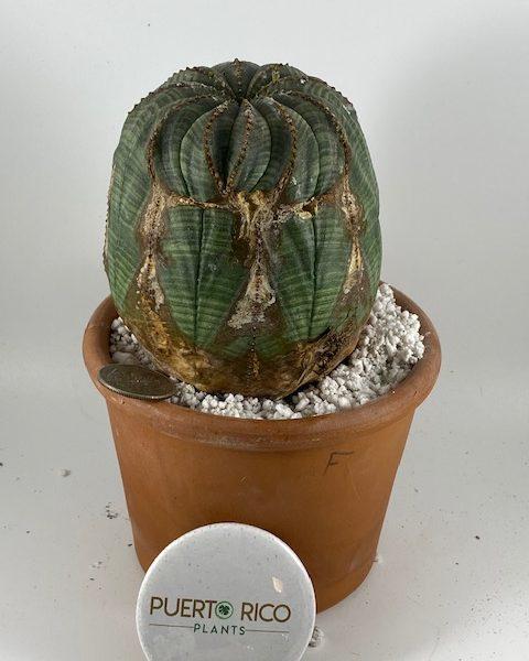 Euphorbia Obesa (Scarface)