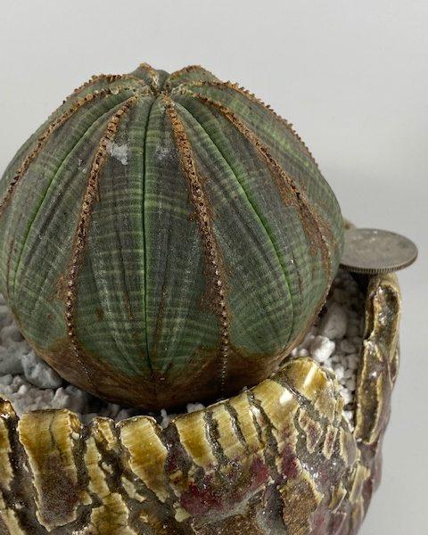 Euphorbia Obesa (Jennifer)