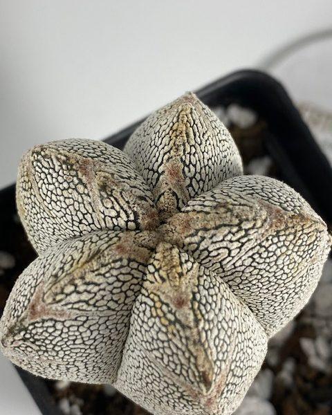 Astrophytum Onzuka (A)