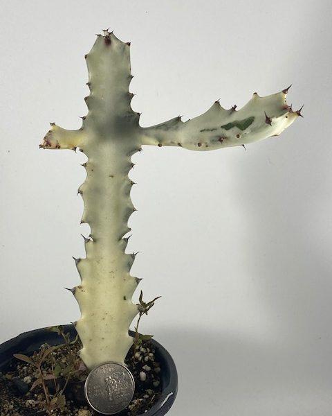 Euphorbia Lactea (White Ghost) (C)
