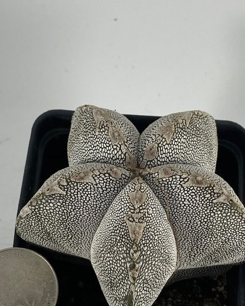 Astrophytum Onzuka [4]