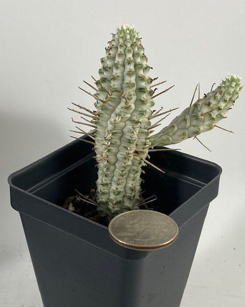 Euphorbia Mammillaris (Variegated) C