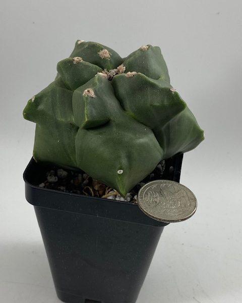 Astrophytum Myriostigma Nudum Kikko