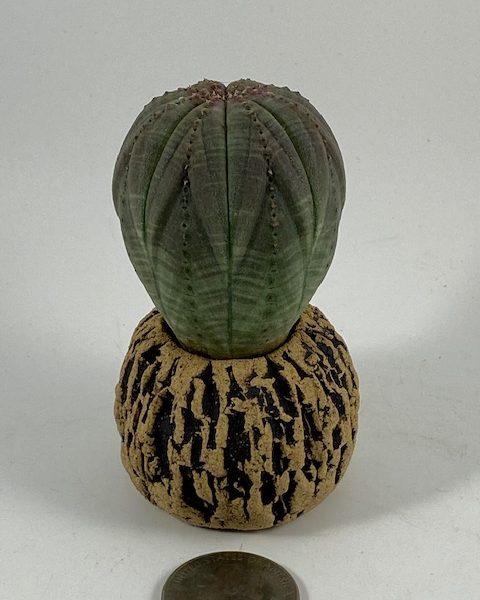 Euphorbia Obesa (Bernie)