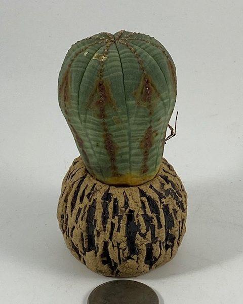 Euphorbia Obesa (Ernest)